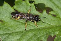 Silbermundwespe, Silbermund-Wespe, Grabwespe, Crabro peltarius, Weibchen, slender-bodied digger wasp