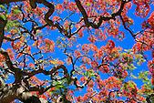 Flamboyant rouge, Poinciana Regia, Nouvelle-Calédonie