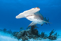 great hammerhead shark, Sphyrna mokarran, the largest species of hammerhead shark attaining lengths of upto 6m, South Bimini Island, Bimini, Bahamas, Caribbean Sea, Atlantic Ocean