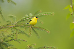 Male American goldfinch perched in a spruce tree in northern Wisconsin.