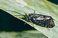 Köcherfliege, Hagenella clathrata, Köcherfliegen, caddisfly, sedge-fly, rail-fly, caddisflies, sedge-flies, rail-flies, Trichoptera