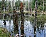 Bog in the temperate rainforest, Tongass National Forest, Alaska