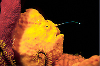 longlure frogfish, Antennarius multiocellatus, hunting with lure out while camouflageing as yellow sponge, Dominica, Caribbean Sea, Atlantic Ocean