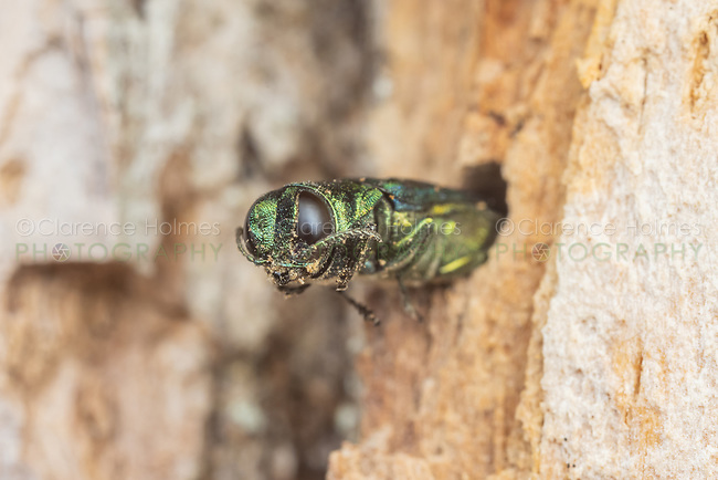 An adult Emerald Ash Borer (Agrilus planipennis) during emergence from an infested ash tree.