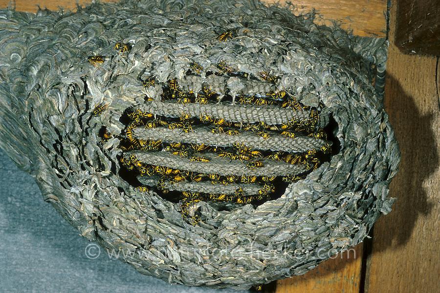 Deutsche Wespe, Nest, Wespennest, Vespula germanica, Vespa germanica, Paravespula germanica, German wasp, European wasp, wasps' nest, vespiary