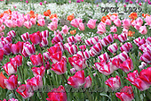Gisela, FLOWERS, BLUMEN, FLORES, photos+++++,DTGK1929,#f#