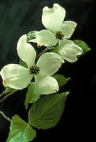 Two dogwood blossoms in soft light, Conus florida, the sweet flower of spring