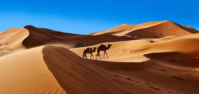 Camels amongst the Sahara sand dunes of erg Chebbi, Morocco, Africa