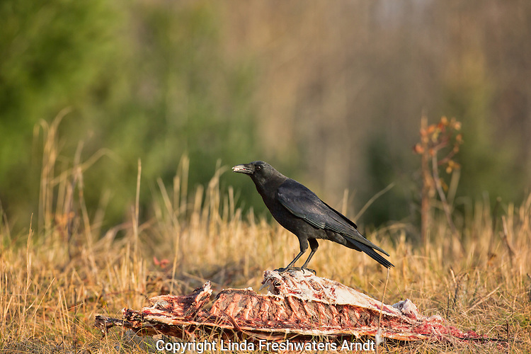 American crow feeding on a deer carcass