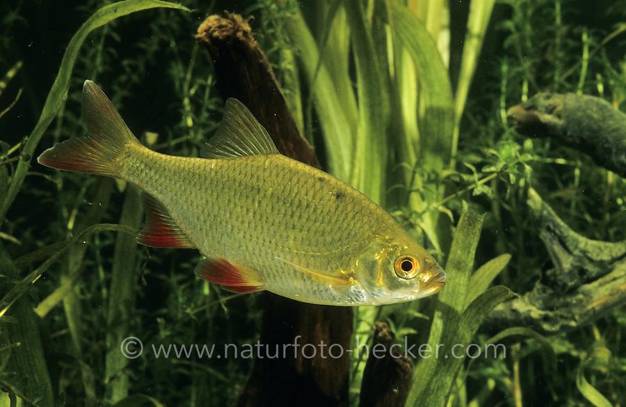 Rotfeder, Unechtes Rotauge, Gelbauge, Scardinius erythrophthalmus, common rudd, Weißfisch, Weißfische