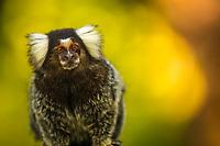 Cute little ouistiti monkey close-up with blurred yellow background in Porto de Galinhas, Ipojuca Pernambuco, Brazil