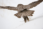 Great Gray Owl taking off to fly back to its perch after catching a vole in Jackson Hole, Wyoming.
