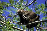 MA05-020z  Porcupine - in tree - Erethizon dorsatum