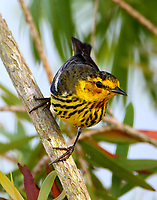 Adult male Cape May warbler