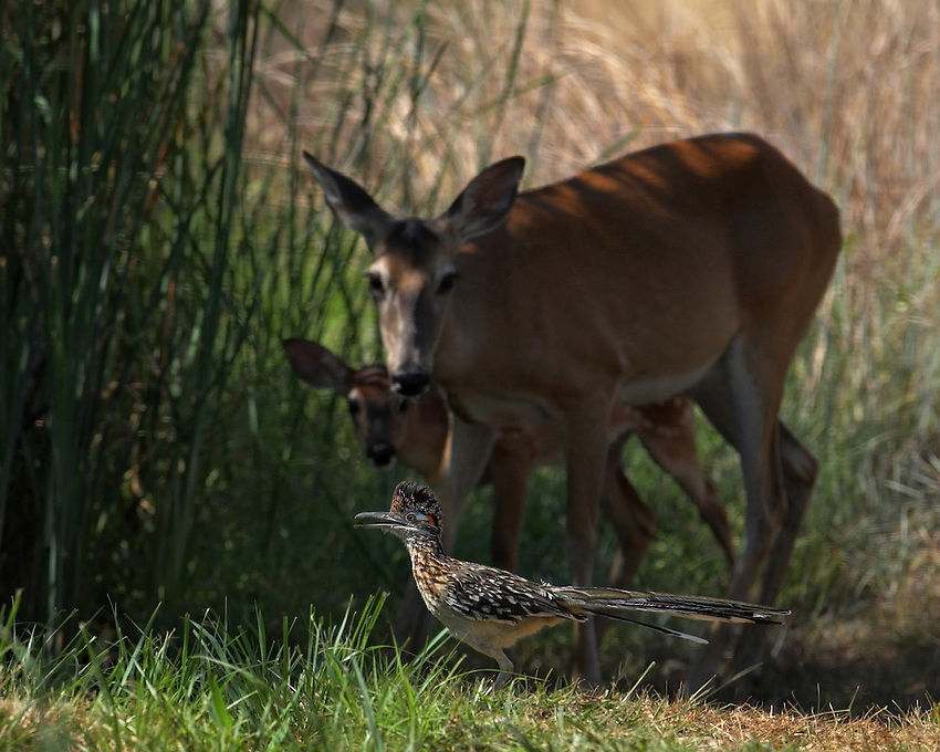 One can see the roadrunner drawing the attention of this doe & fawn as it calls...BEEP-BEEP!! :)