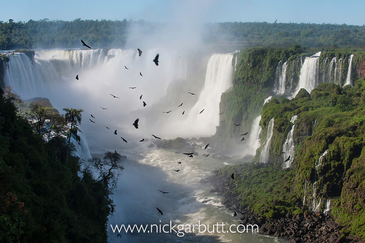 Aggregation / flocks of Black Vultures (Coragyps atratus) circling on morning thermals forming over Iguasu Falls (also Iguazu Falls, Iguazú Falls, Iguassu Falls or Iguaçu Falls), Brazil / Argentina borner. Photographed from the Brazilian side of the Falls. State of Paraná, Brasil.