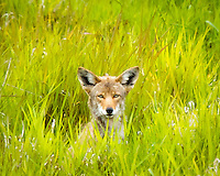 """A coyote is peering out of the grass at viewer in the Ridgefield National Wildlife Refuge.  This photo was selected in the top 10 in the """"2010 Photo of the Year"""" photo contest in Portland, OR."""