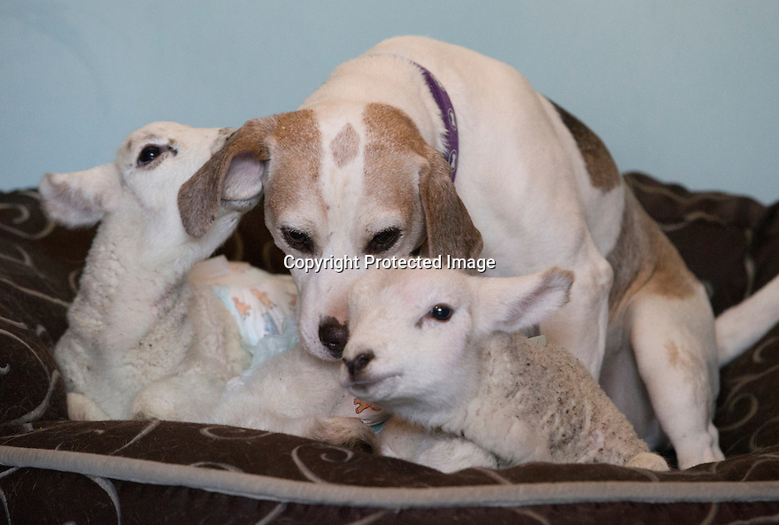 """21/04/15<br /> <br /> Cuddle time with Draughtsman.<br /> <br /> Two 'sheep dogs' are helping to pamper three orphaned lambs who think the dogs are their mum.<br /> <br /> The three orphaned  lambs, who wear nappies so they can have the run-of-the-house, like to snuggle up to the dogs and share their bed with them in the kitchen by the stove.<br /> <br /> Piper, an 11-year-old rhodesian ridgeback-cross and Draughtsman, an eight-year-old ex-hunting beagle, take turns looking after the week-old lambs who often try to suckle from their doting canine 'parents'.<br /> <br /> Melissa Ebbatson, 21, said: """"These three were quite poorly, so we brought them inside so we could look after them better and give them a bit more warmth. We put them in nappies so they don't make a mess in the house.  One of the dogs was having a snooze on his bed and the lambs just jumped in and joined him. And they've all become inseparable since then.<br /> <br /> """"The dogs like to clean the lambs' faces after they've had their bottles. And they enjoying romping around the place with them,"""" said Melissa who helps to run Crossgates Farm, with her family near Tideswell in the Derbyshire Peak District.<br /> <br /> """"They seem to really care about them and go straight to them if they start bleating – they even come to find us if they think they're hungry.<br /> <br /> """"We change their nappies at least four-times-a-day - the baby boys even need to wear two!<br /> <br /> """"They are between seven and eight days old, and we hope to get them living back outside again when they are strong enough in another ten days or so – that's as long as the dogs let us!<br /> <br /> """"We're probably all a bit bonkers here but it all seems normal to us"""", she added.<br /> <br /> All Rights Reserved: F Stop Press Ltd. +44(0)1335 418629   www.fstoppress.com."""