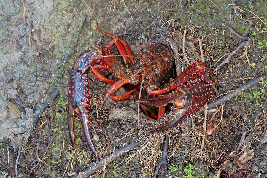 Roter Amerikanischer Sumpfkrebs, Eingang zur Erdröhre, Wohnröhre, Louisiana-Flusskrebs, Roter Sumpfkrebs, Roter Teichkrebs, Procambarus clarkii, Red swamp crawfish, red swamp crayfish, Louisiana crawfish, Louisiana crayfish, mudbug