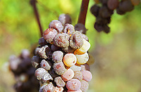 Semillon grapes with noble rot.   at harvest time  Chateau Raymond Lafon, Meslier, Sauternes, Bordeaux, Aquitaine, Gironde, France, Europe