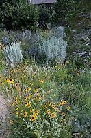 Rudbeckia hirta (Black-eyed Susan) yellow flower biennial in Colorado meadow garden with wheatgrass and chamisa