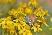 Juniper Hairstreak (Callophrys gryneus), Hill Country, Texas, USA