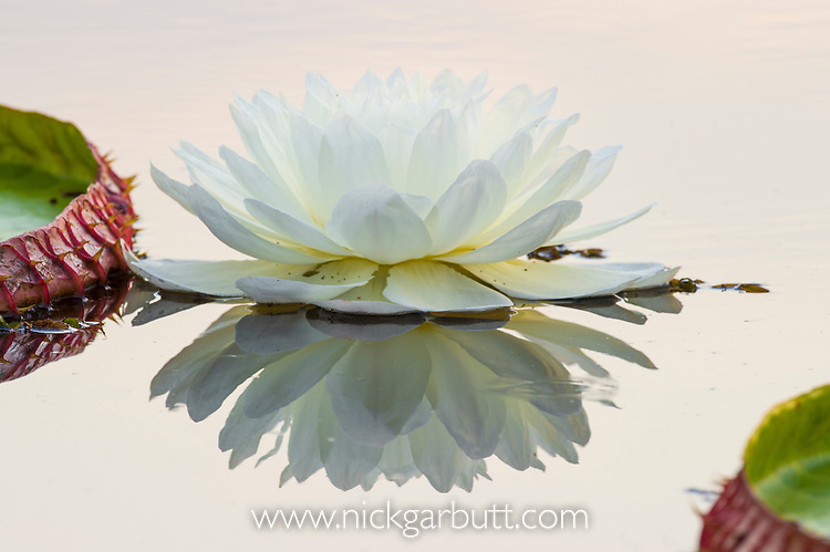 Giant Water Lilies (Victoria amazonica) in a lagoon at Porto Jofre, off the Cuiaba River, northern Pantanal, Mato Grosso State, Brazil.