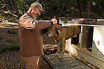 Plott Hound (Canis familiaris) being fitted with tracking collar by houndsman, Troy Collinsworth, during attempt to re-collar a male puma, Santa Cruz Puma Project, Uvas Canyon County Park, Santa Cruz Mountains, California