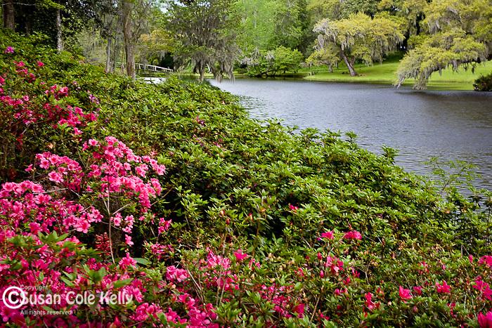 Azalea garden at the Rice Mill Pond at Middleton Place Plantation, Ashley River Road, Charleston, SC