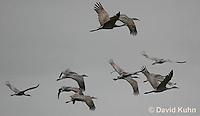0102-1018  Flock of Sandhill Cranes in Flight, Grus canadensis  © David Kuhn/Dwight Kuhn Photography