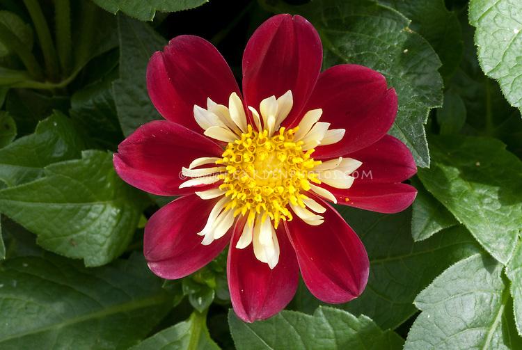 Dahlia 'Dahlietta Surprise Jacky', semi-double dwarf type, red and cream.