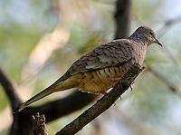 Adult male inca dove in tree