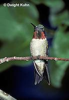 HU12-008x  Ruby-throated Hummingbird - male resting on branch -  Archilochus colubris