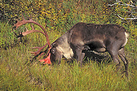 Barren-ground Caribou bull (Rangifer tarandus granti) with superficial blood on antlers following annual shed of velvet at end of August/early September. The blood dries quickly and the antlers will turn brown. Denali National Park, Alaska, U.S.A.