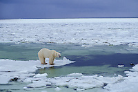 Polar bear (Ursus maritimus), Canada..Note:  This somewhat illustrates the issue of global warming--the ice forms later and breaks up sooner in the arctic.  Since the bears do most of their hunting on the ice pack for seals this shorter duration of ice limits their hunting time.  I have read where the bears around Churchill weigh about 10% less than 20 years ago.