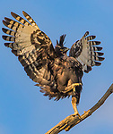 Kung-fu bird - Longcrested Eagle being bombed by a Owambo Sparrowhawk by Trevor Barnett
