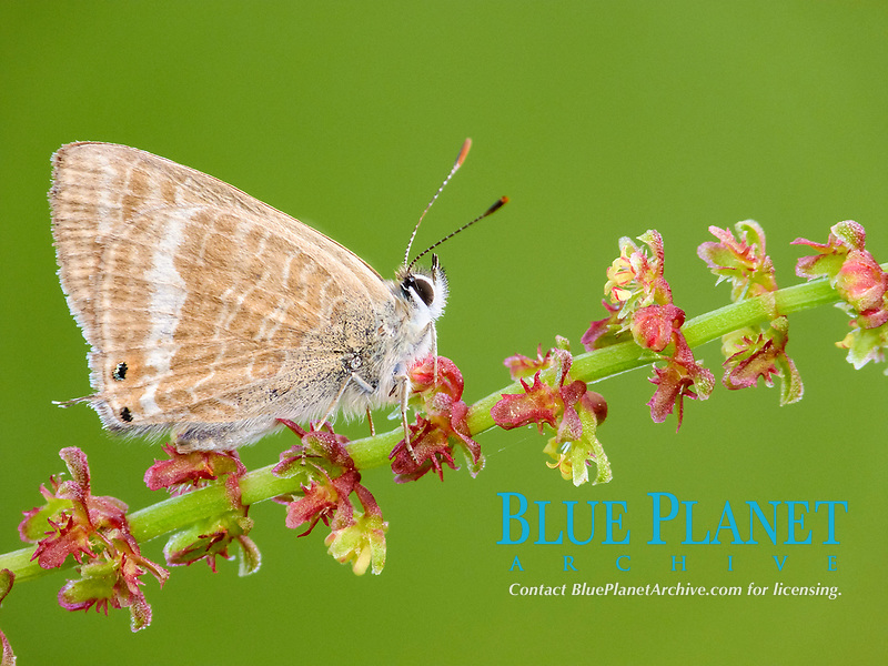 Long-tailed Blue (Lampides boeticus), adult, resting on Sheep's Sorrel (Rumex acetosella), stem, Peloponesos, Southern Greece, Europe