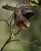 An often used attack maneuver is to fly fast and low to the ground, then up and over an obstruction to surprise prey on the other side. In pursuit of a songbird below..