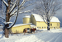 AJ4627, farm, winter scene, Vermont, Cows standing outside a yellow barn in the snow in East Montpelier in Washington County in the state of Vermont.