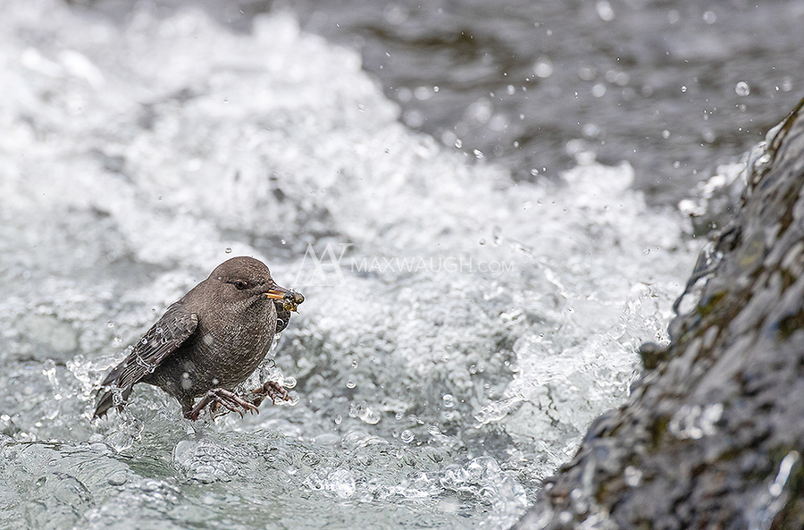 I had a very nice session with an American Dipper at LeHardy Rapids.