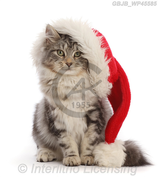 Kim, CHRISTMAS ANIMALS, WEIHNACHTEN TIERE, NAVIDAD ANIMALES, photos+++++,GBJBWP45585,#xa#