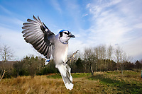 blue jay, Cyanocitta cristata, in flight, Nova Scotia, Canada