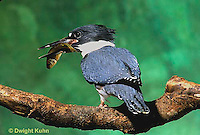 KG01-036x  Belted Kingfisher - male perched along stream with fish he caught- Megaceryle alcyon