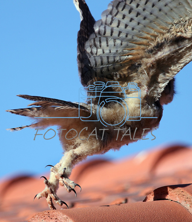 A young horned owl lands on a roof in Palm Desert, Ca. on Saturday, June 25, 2011..Photo by Cathleen Allison