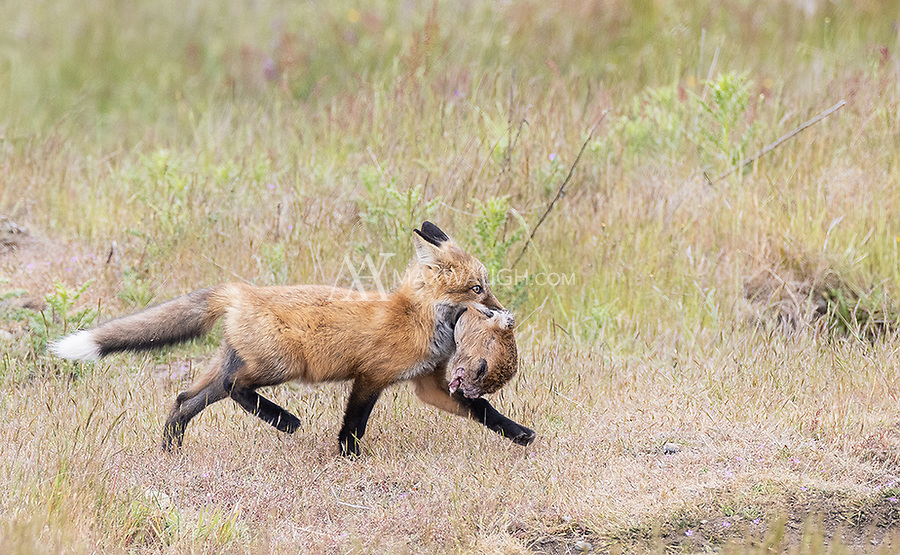 It's hard to tell, but I believe this fox kit is carrying the chewed up head of a deer fawn.
