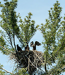 A trio of recently hatched bald eagles in a nest along the Plover River, wait for their parents to return with lunch. (DOUG WOJCIK/STEVENS POINT JOURNAL)