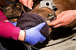 Mountain Lion (Puma concolor) biologists, Chris Wilmers measuring head circumference of sub-adult male during collaring, Santa Cruz Puma Project, Santa Cruz, Monterey Bay, California