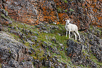 Young dall sheep ram on marmot rock, and outcrop with orange lichen that overlooks the Polychrome mountains of the Alaska Range in Denali National Park, Interior, Alaska.