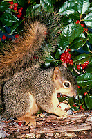 Cute Eastern fox squirrel on log eating a nut next to holly berries