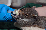 Massasoit Community College Veterinarian technician student, Meghan Wells feeds a 5 week old Eastern gray squirrel at the Birdsey Cape Wildlife Center in Barnstable on Cape Cod, Massachusetts, close-up.